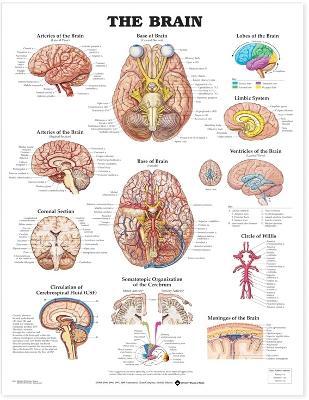 The Brain Anatomical Chart by Anatomical Chart Company
