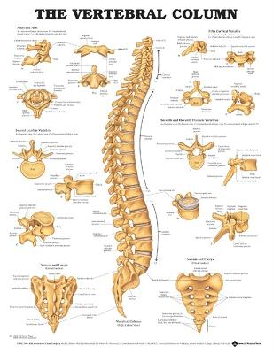 The Vertebral Column Anatomical Chart by Anatomical Chart Company