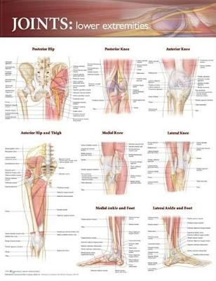 Joints of the Lower Extremities Anatomical Chart by Anatomical Chart Company